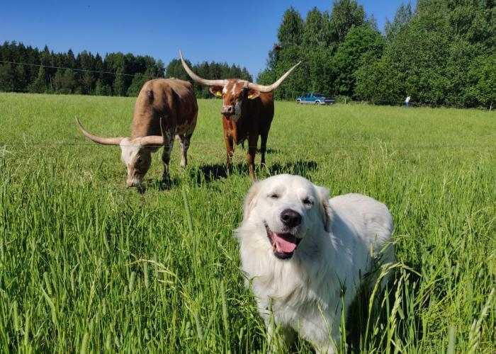 Slovakiancuvac, lehmät