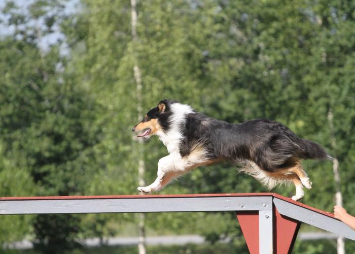collie, pitkäkarvainen, agility