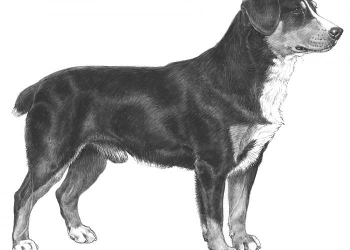 entlebucher_sennenhund_-_047.jpg
